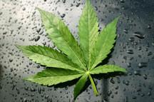 Cannabis/Marihuana am Steuer